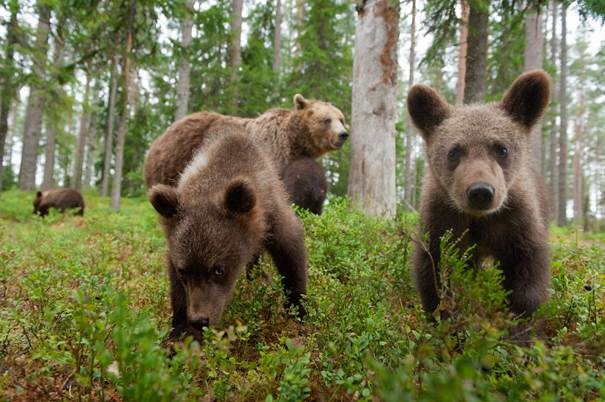 Brown Bear cubs by Magnus Nyman