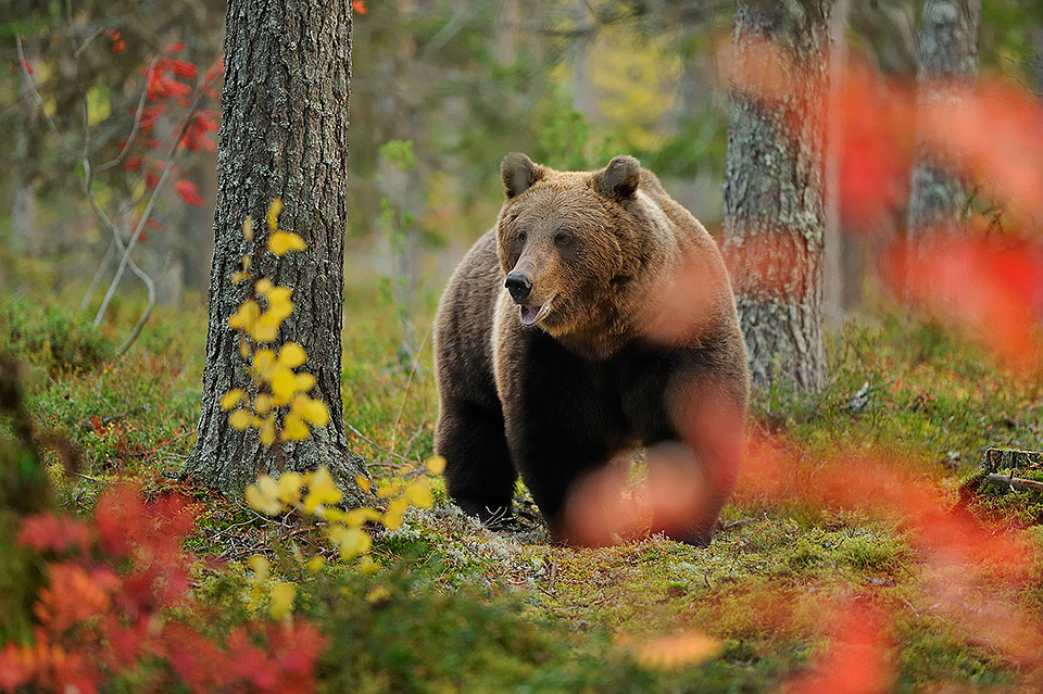 Brown Bear in autumn colors